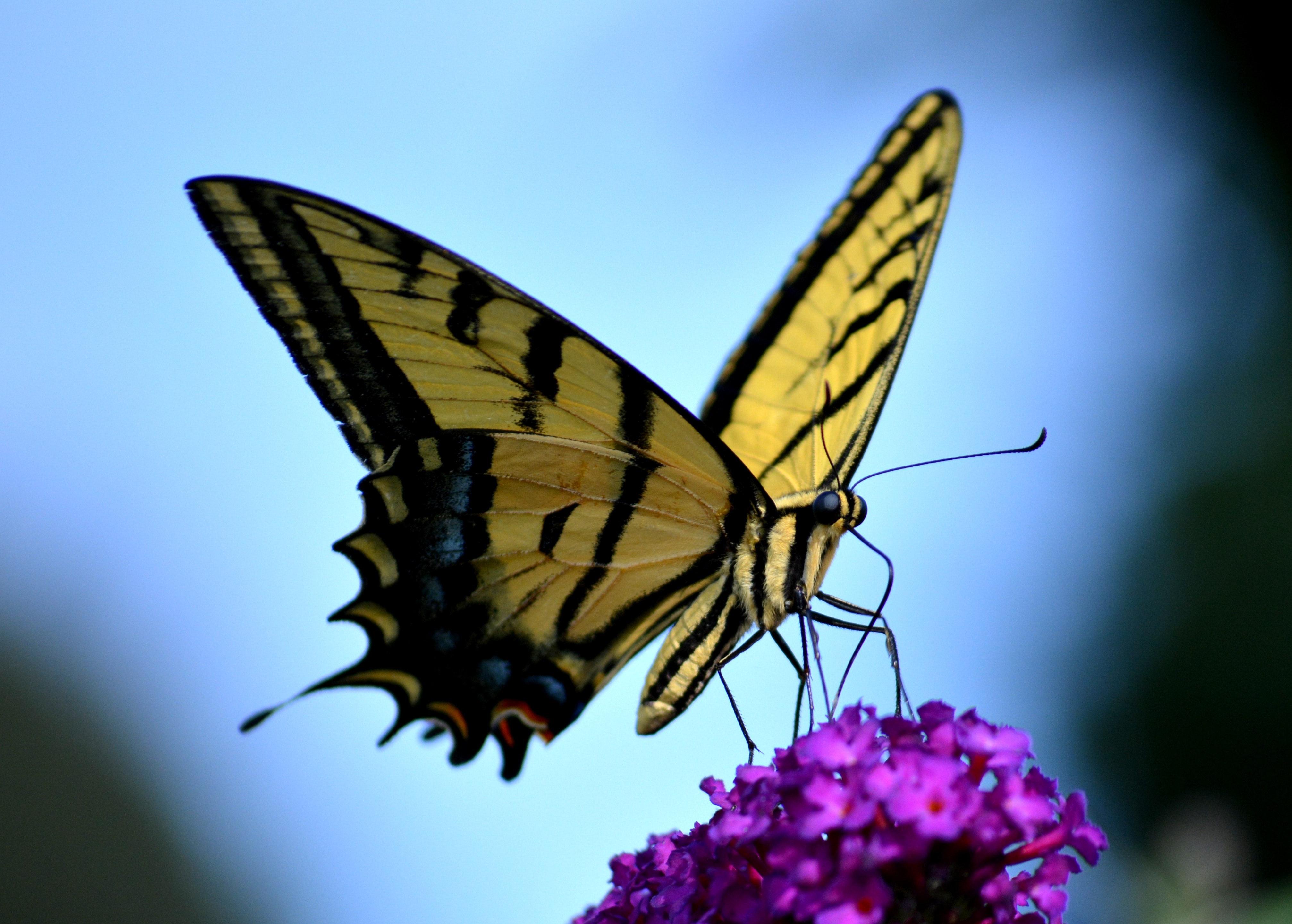 Papillon jaune et noir